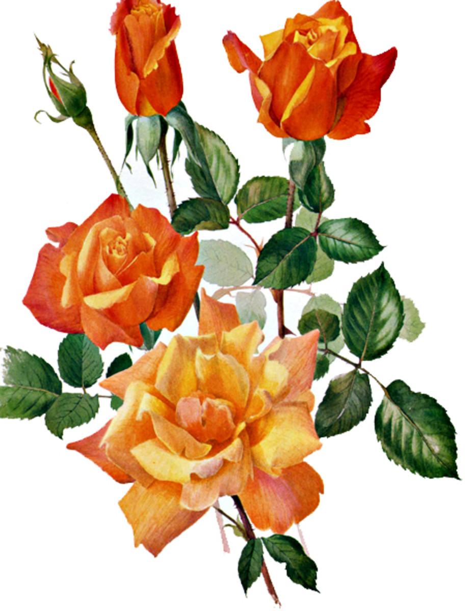 Rose Image 17