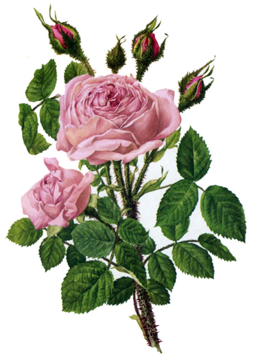 Rose Image 4