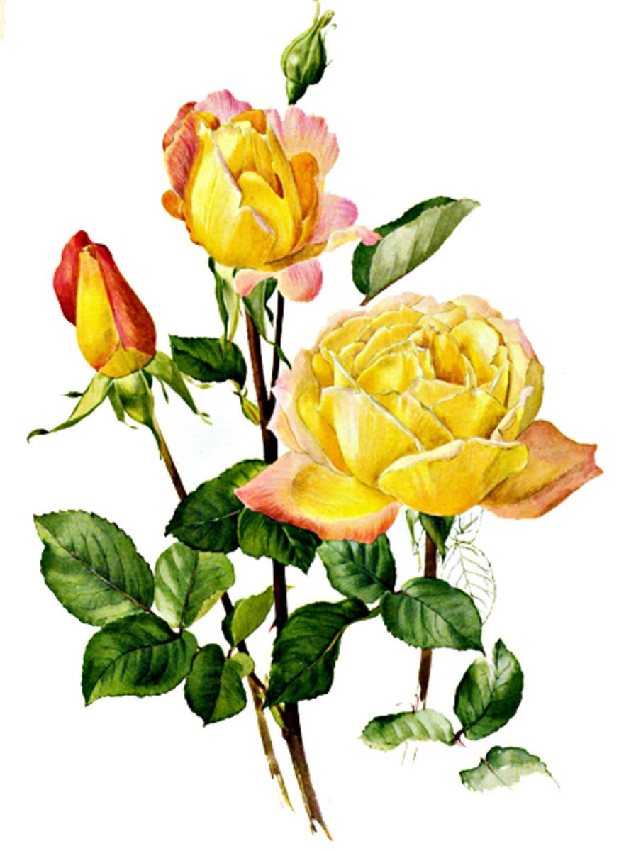 Rose Image 19