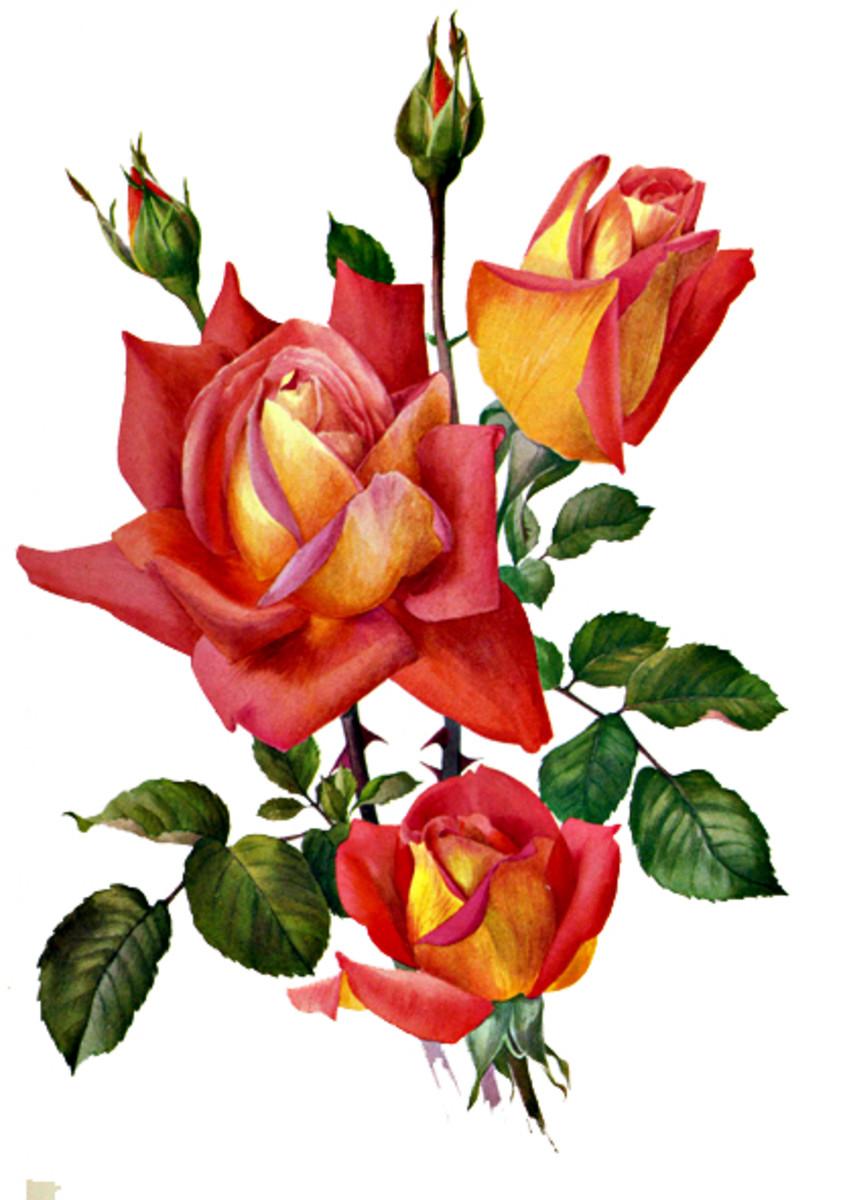 Rose Image 22