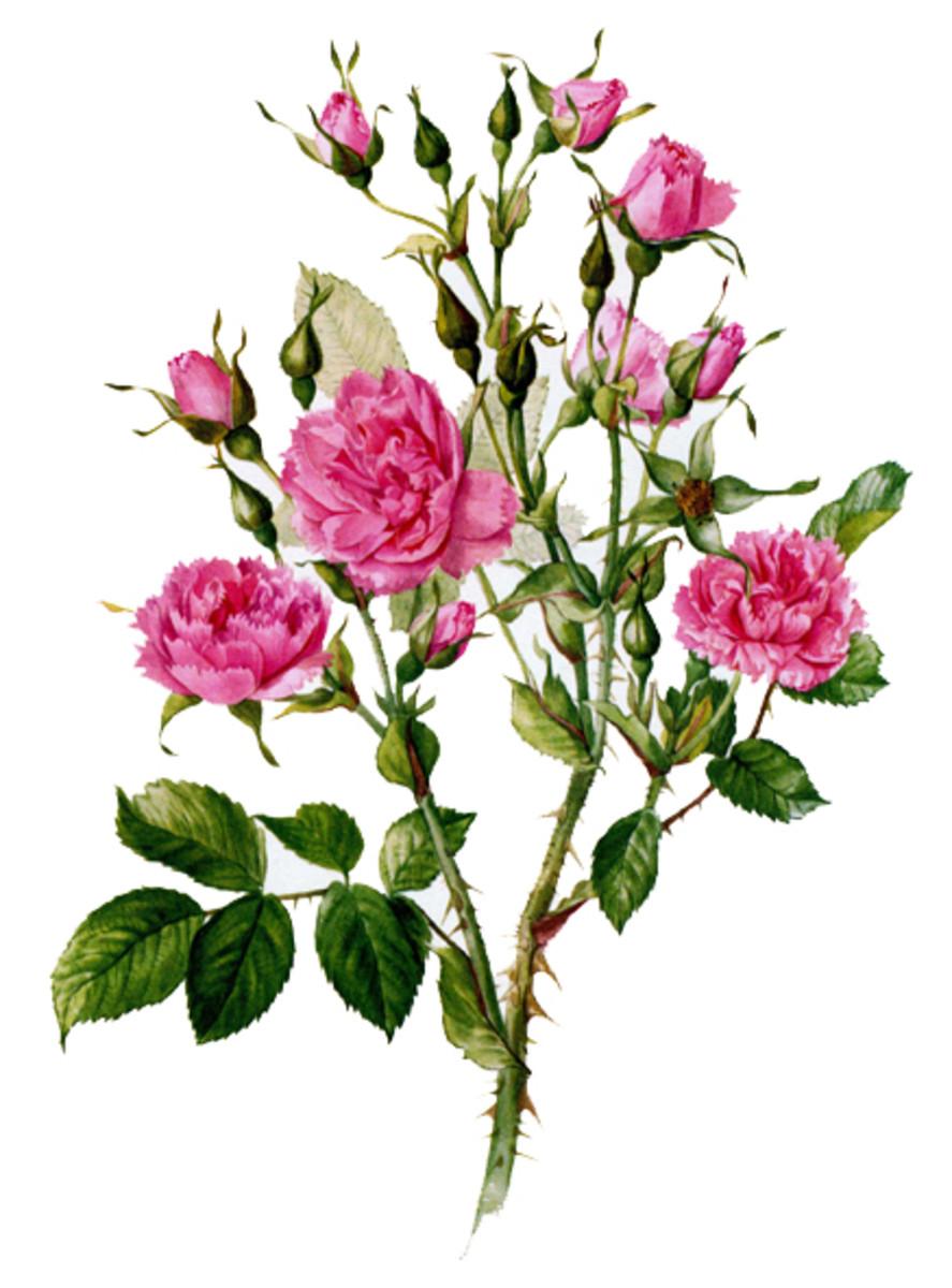 Rose Image 9