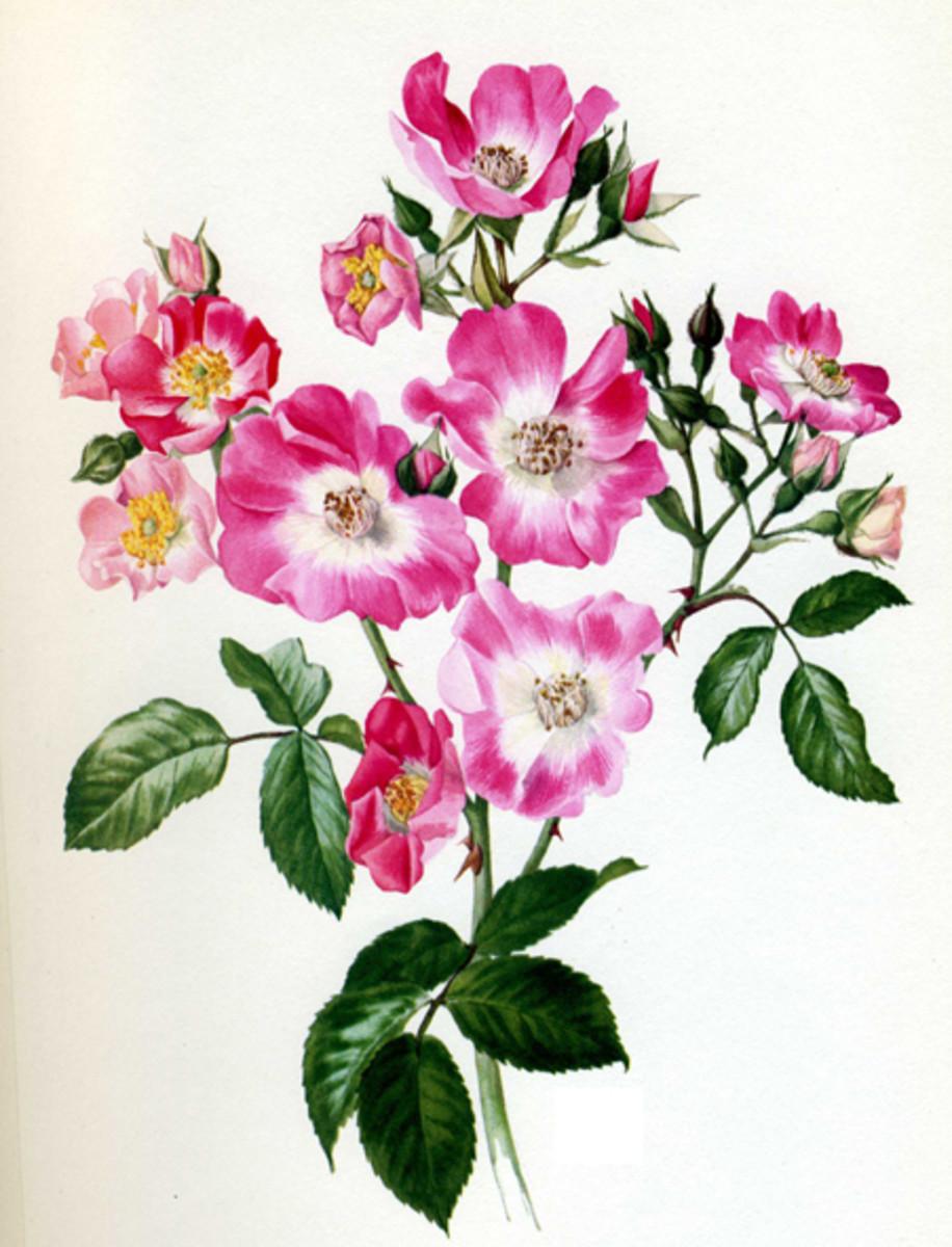 Rose Image 7