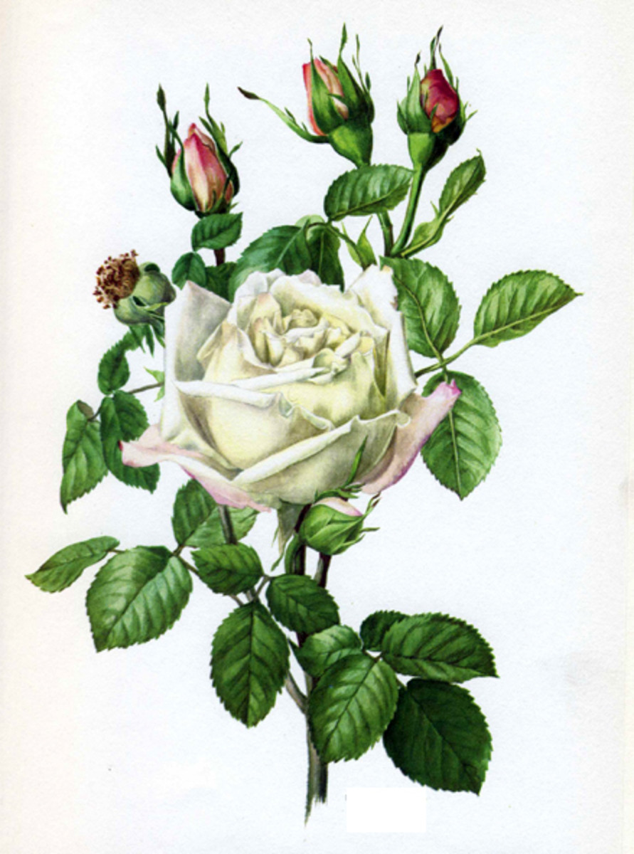 Rose Image 6