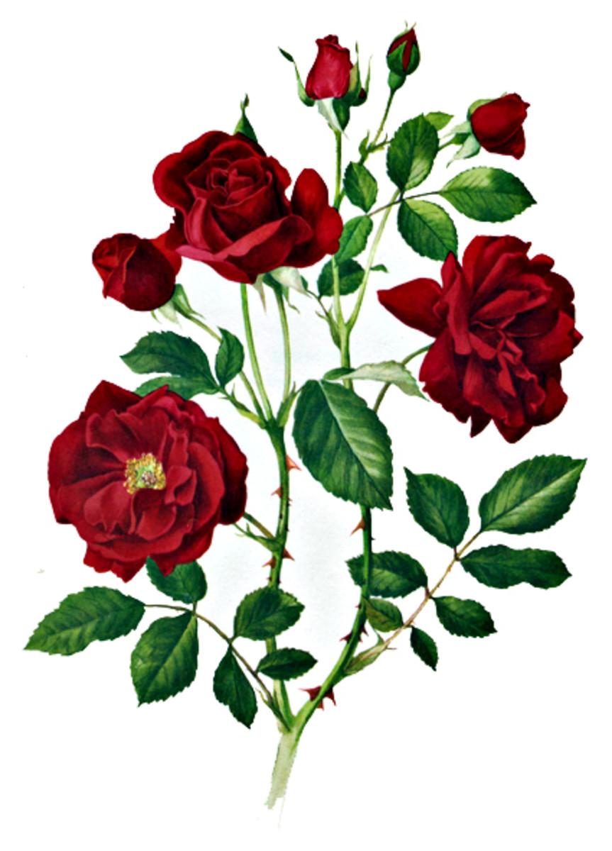 Rose Image 16