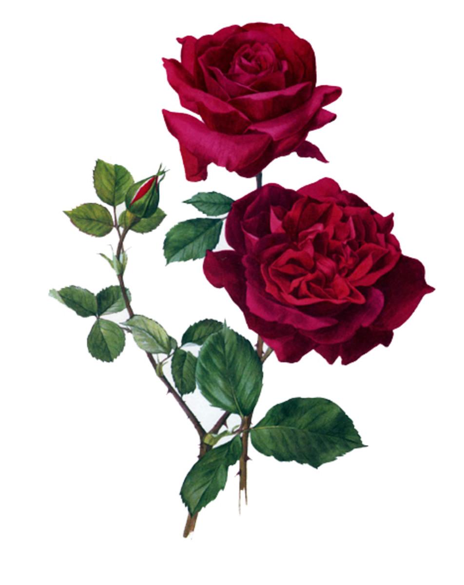 Rose Image 8