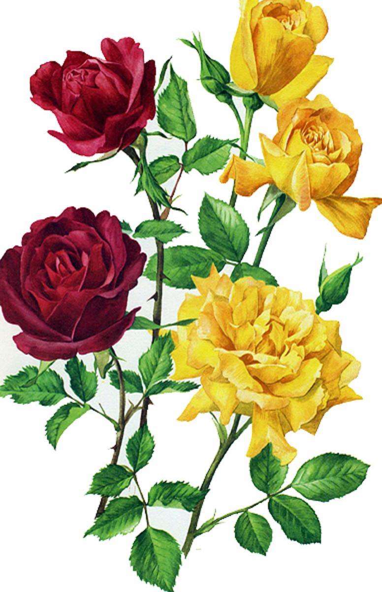 Rose Image 11