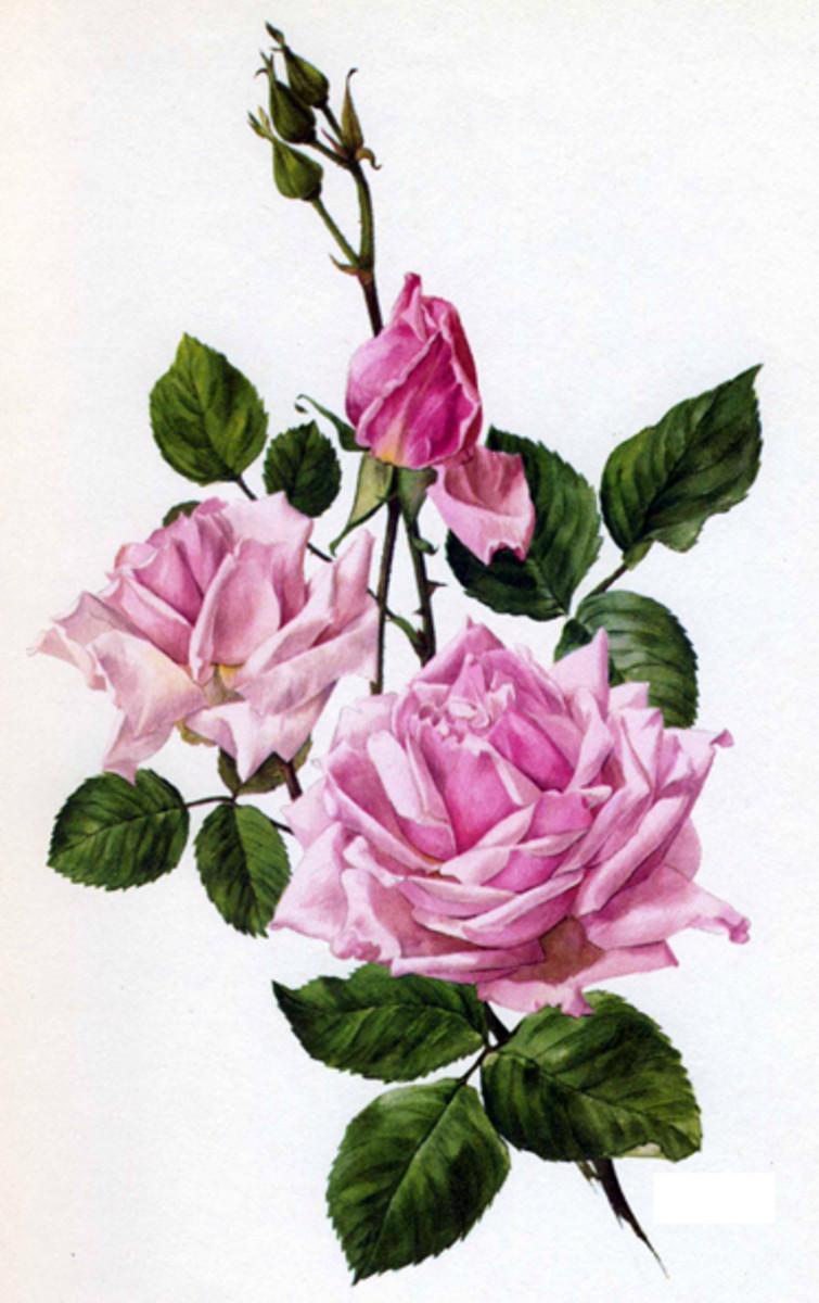 Rose Image 5