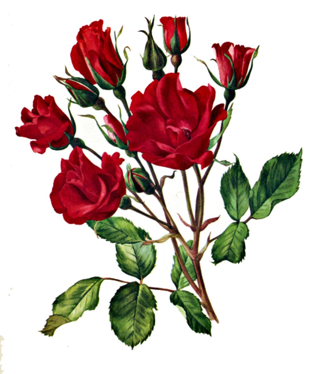 Rose Image 15