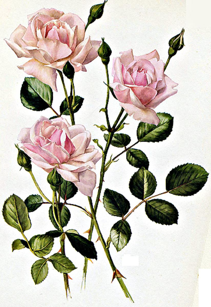 Rose Image 12