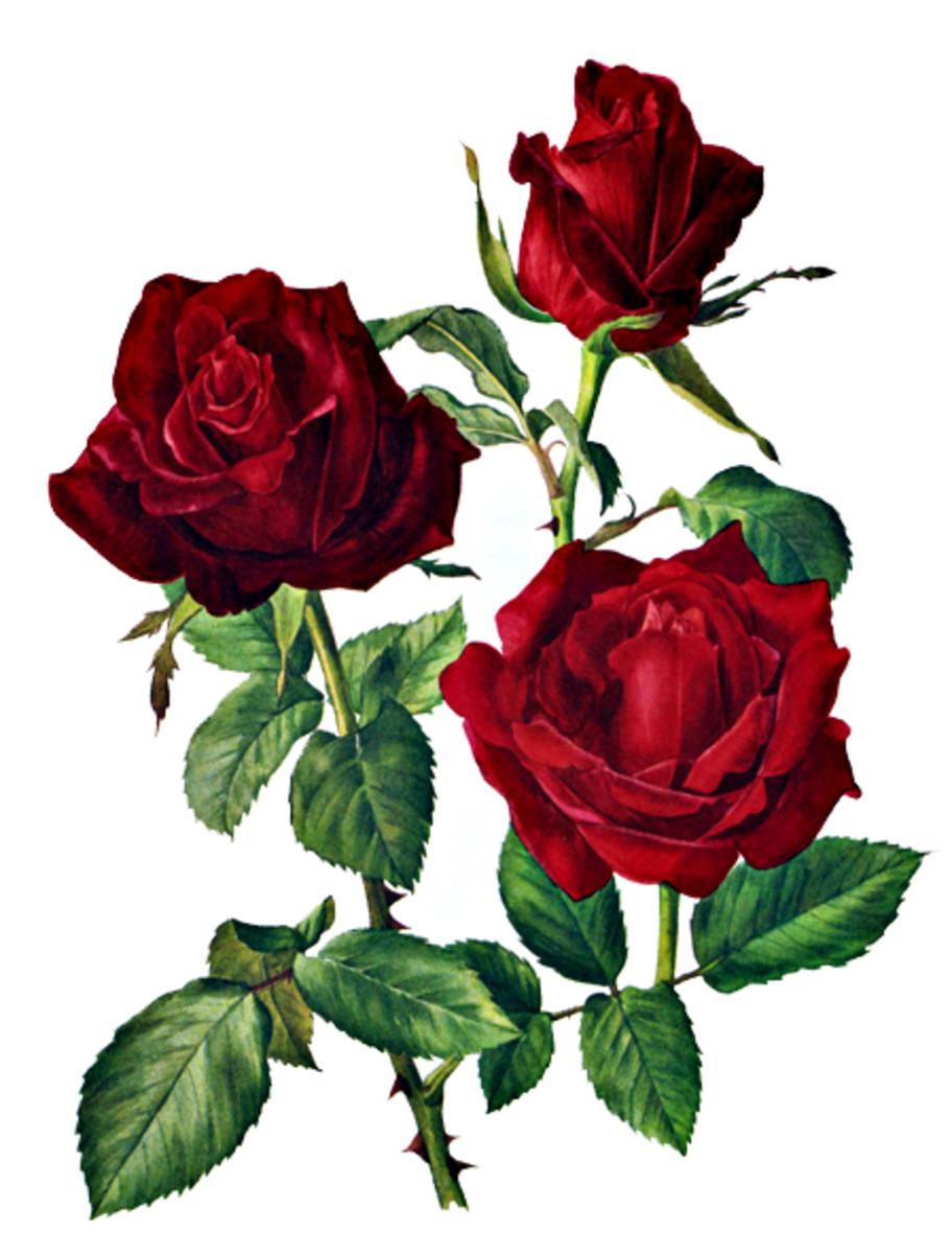 Rose Image 21