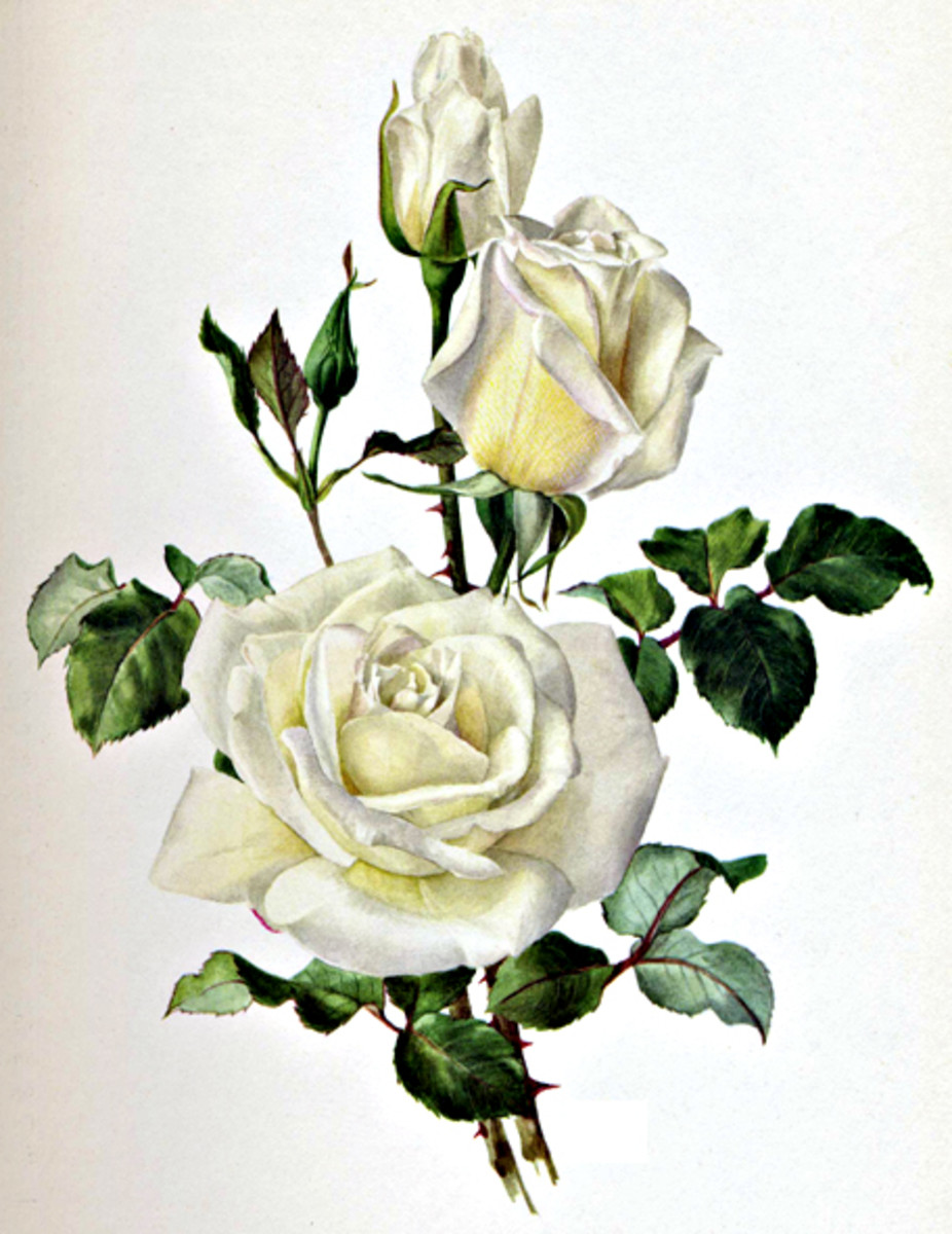 White Rose Image After