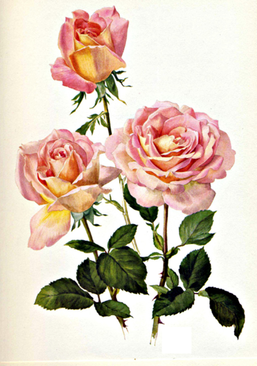 Rose Image 23