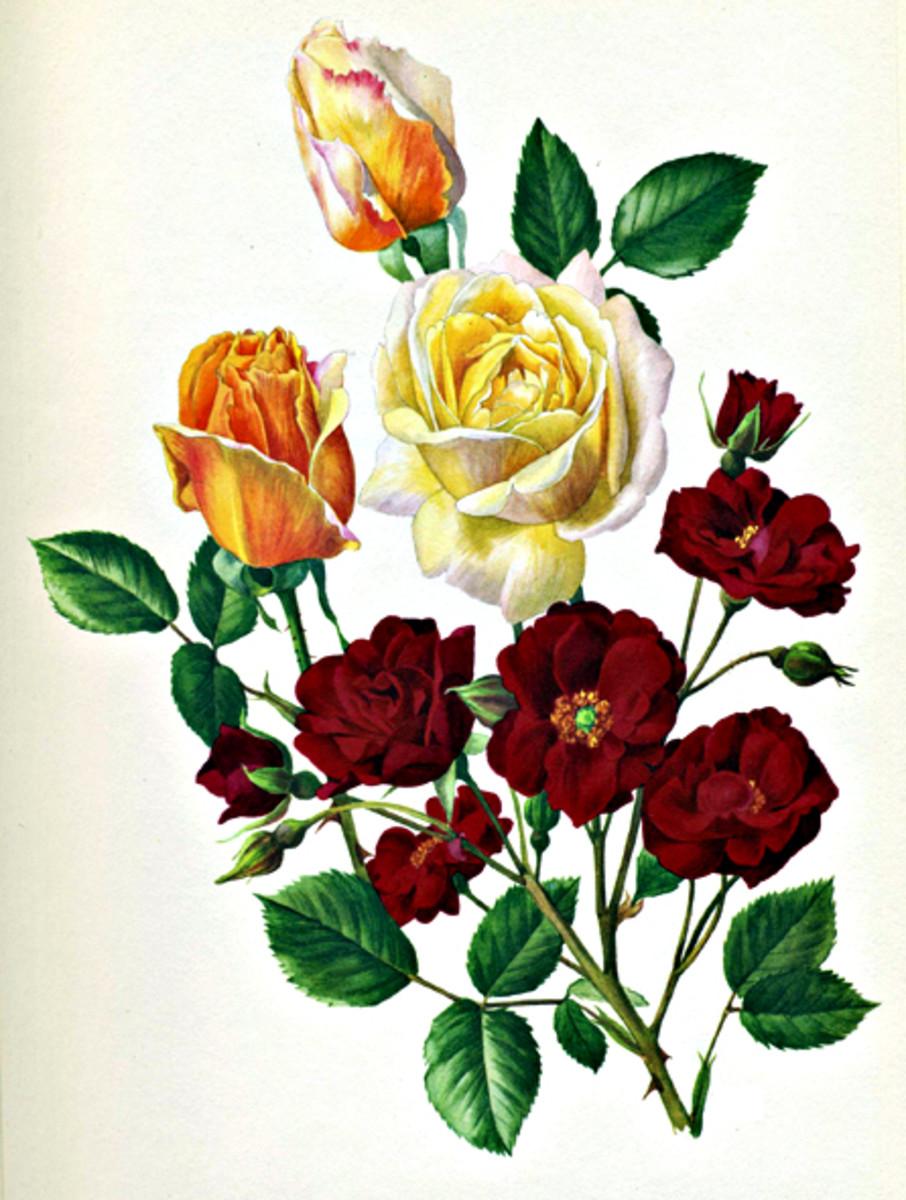Rose Image 24