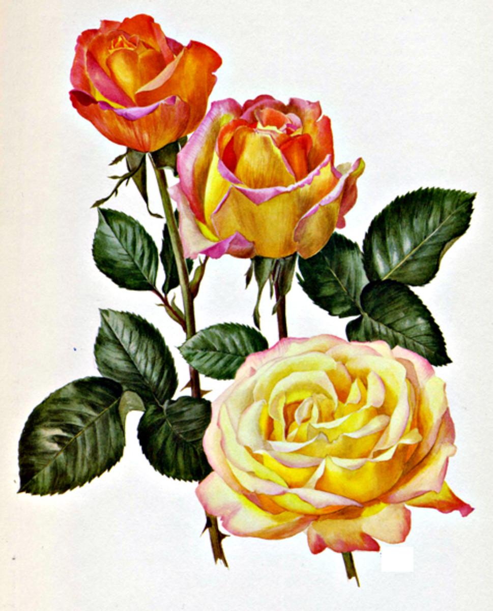 Rose Image 14
