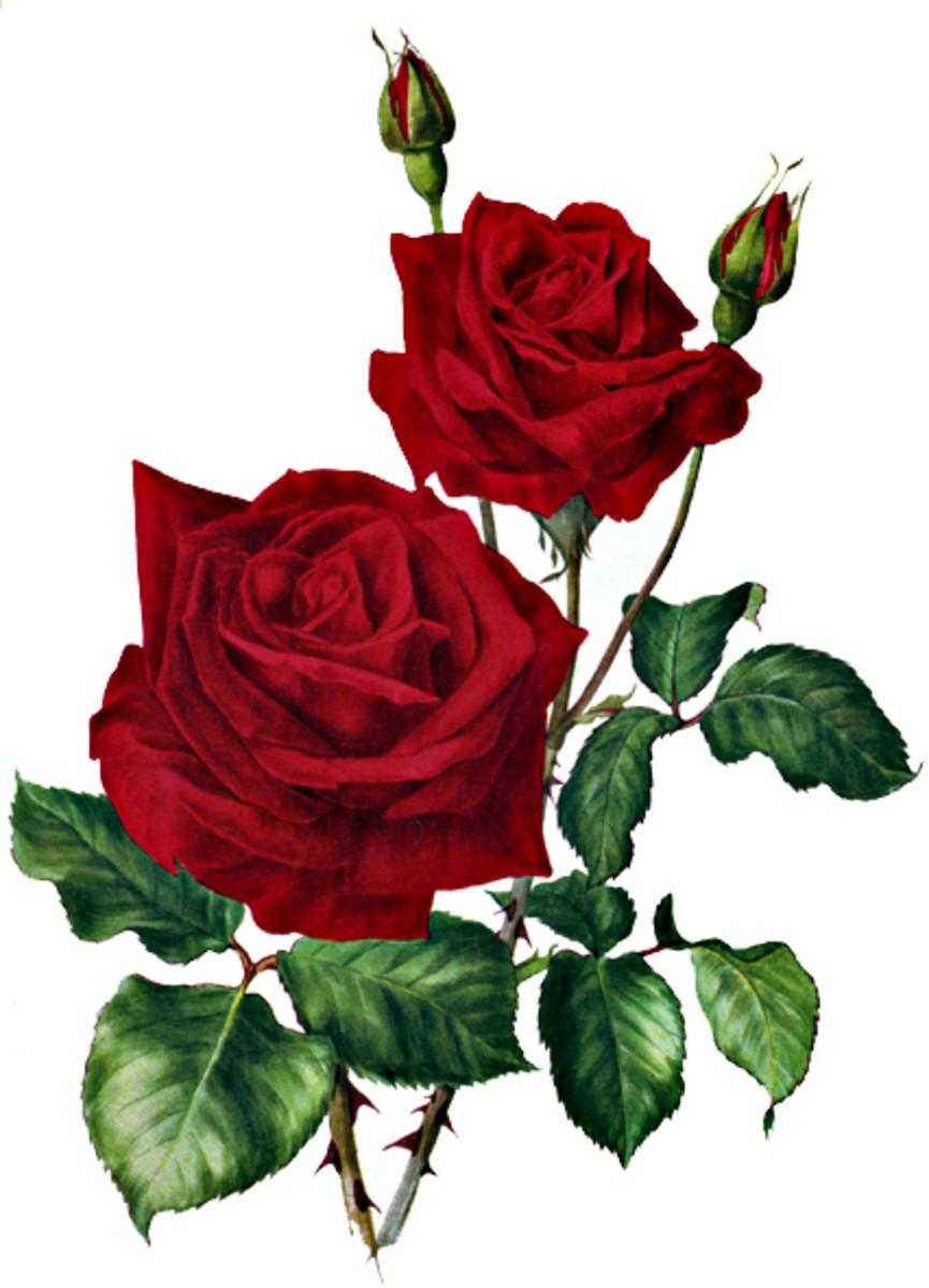Rose image after