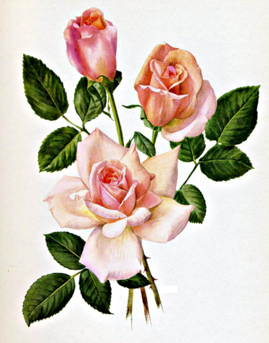 Rose Image 10