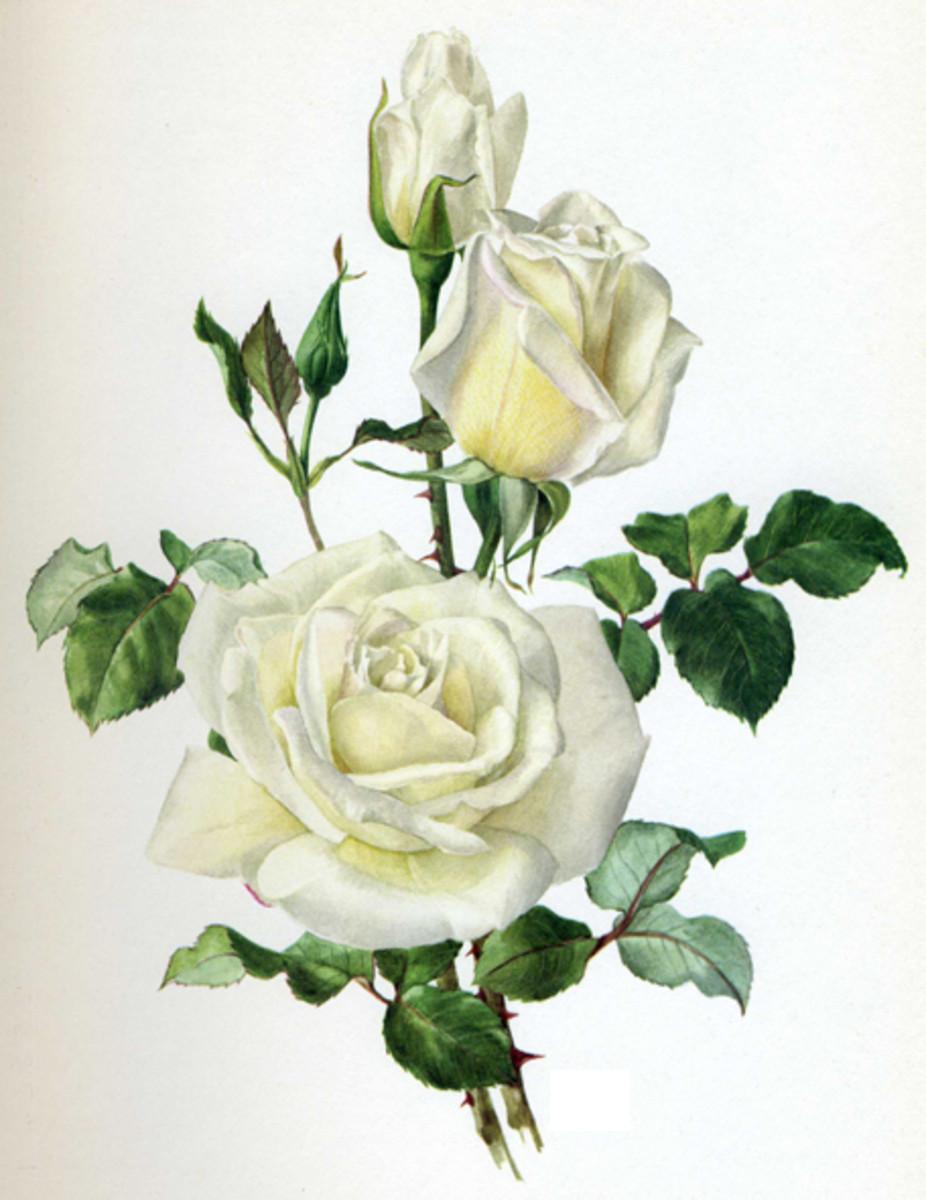 White Rose Image Before