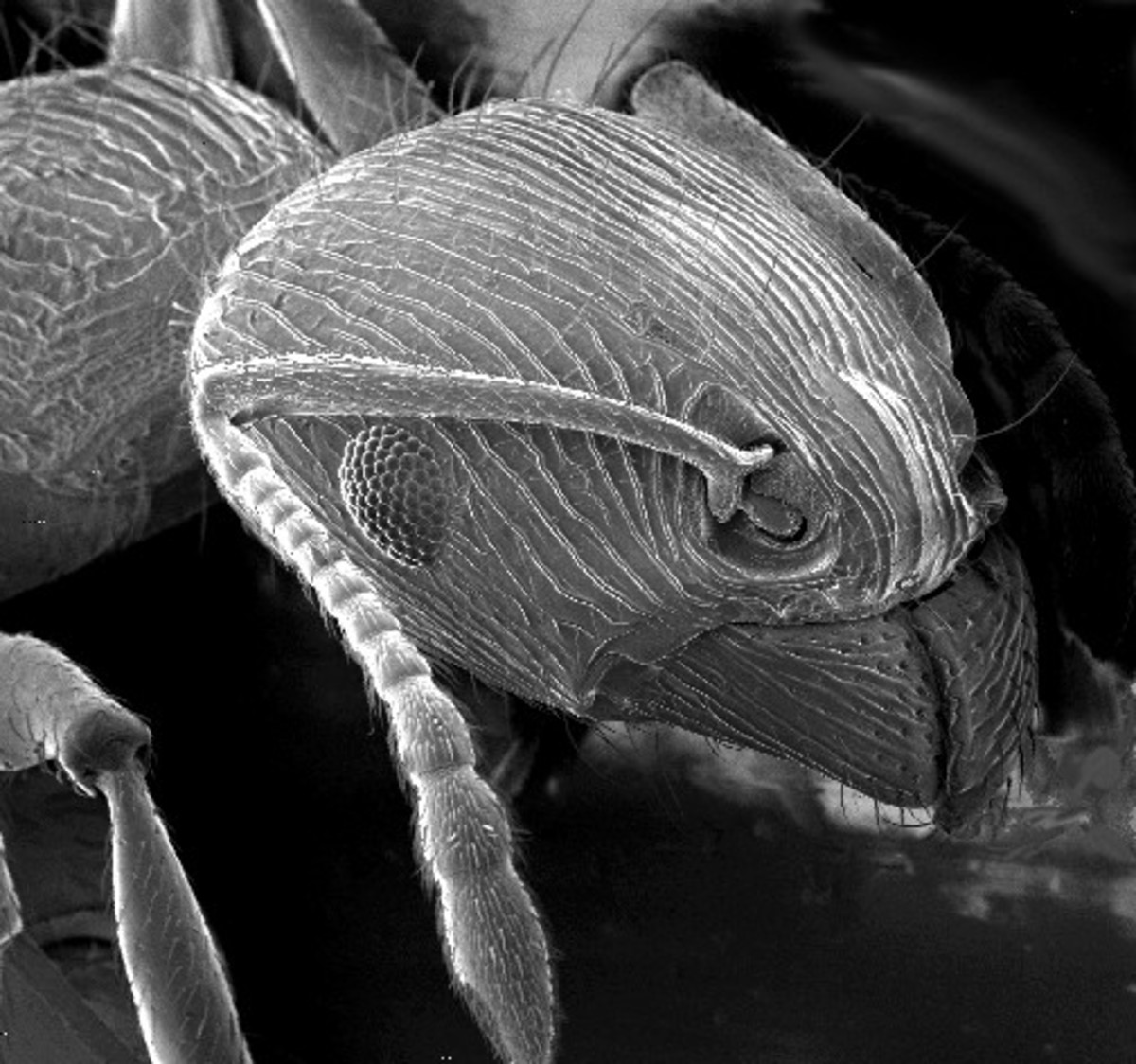 This is an ant as seen through a scanning electron microscope.