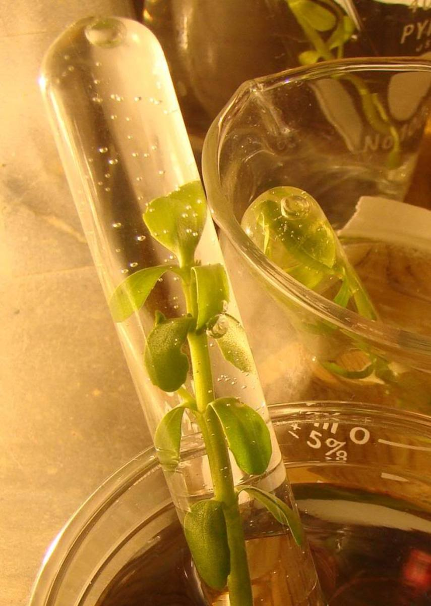 Photosynthesis in action! See the bubbles of oxygen?