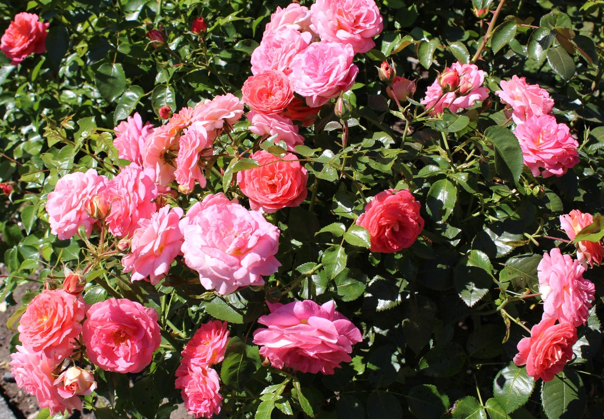 Roses in the Centennial Rose Garden in Burnaby Mountain Park