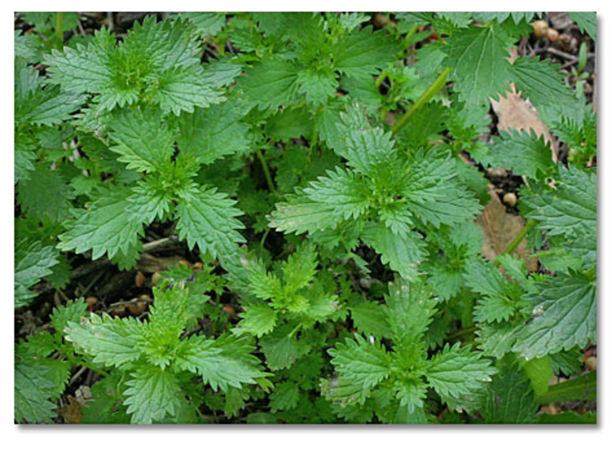Extracts of this plant can be used to treat arthritis, anemia, hay fever, kidney problems, and pain