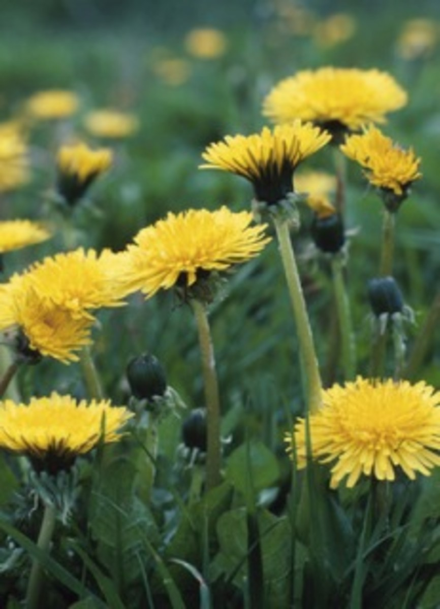 Dandelion leaves produce a diuretic effect the roots act as an antiviral agent, appetite stimulant, digestive aid, and may help promote gastrointestinal health. The flower has antioxidant properties.They may also help improve the immune system.