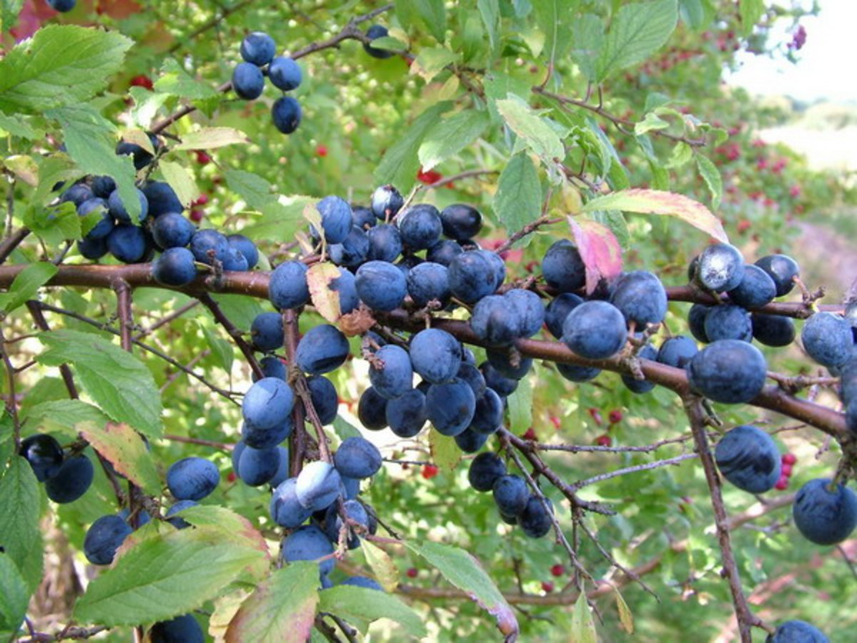 Sloes are full of vitamin c and antioxidants and the syrup is a traditional remedy for fighting off flu.