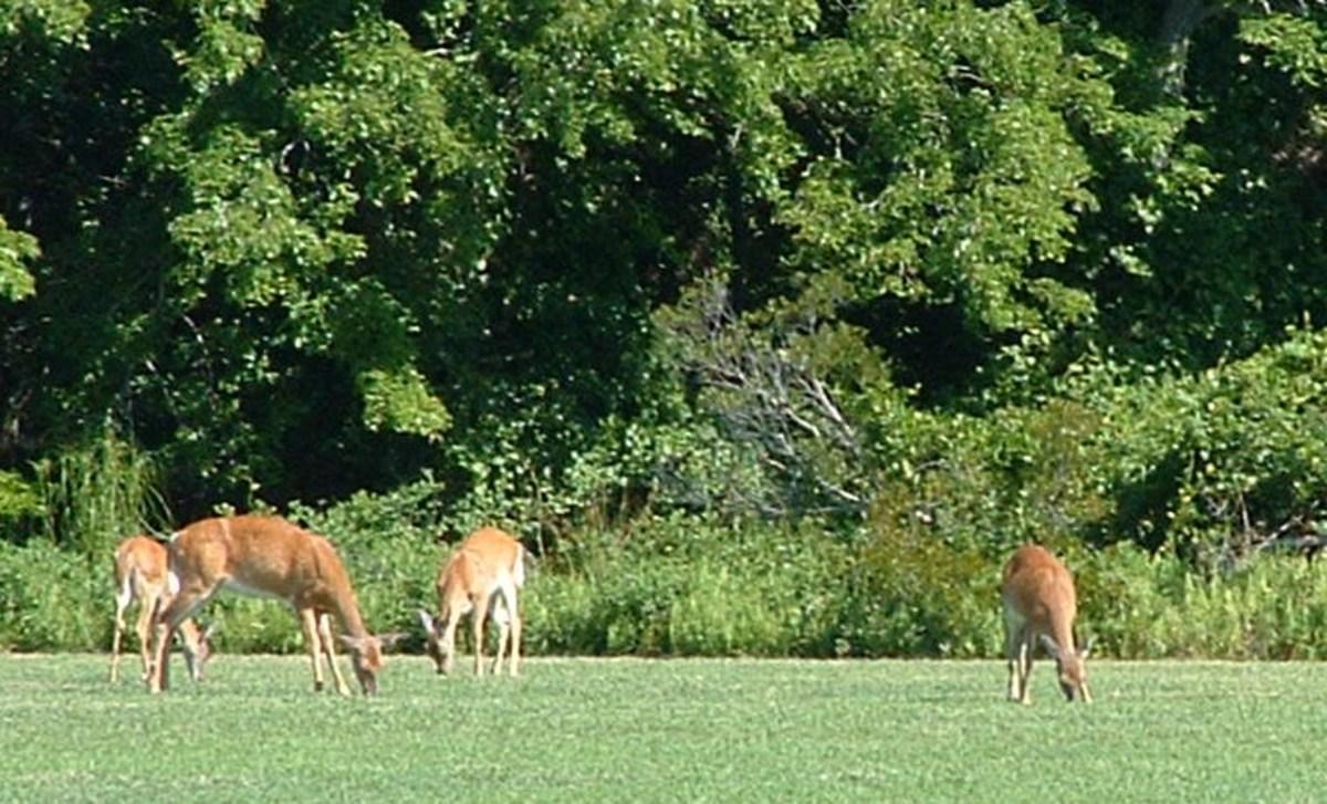 Deer grazing in field.