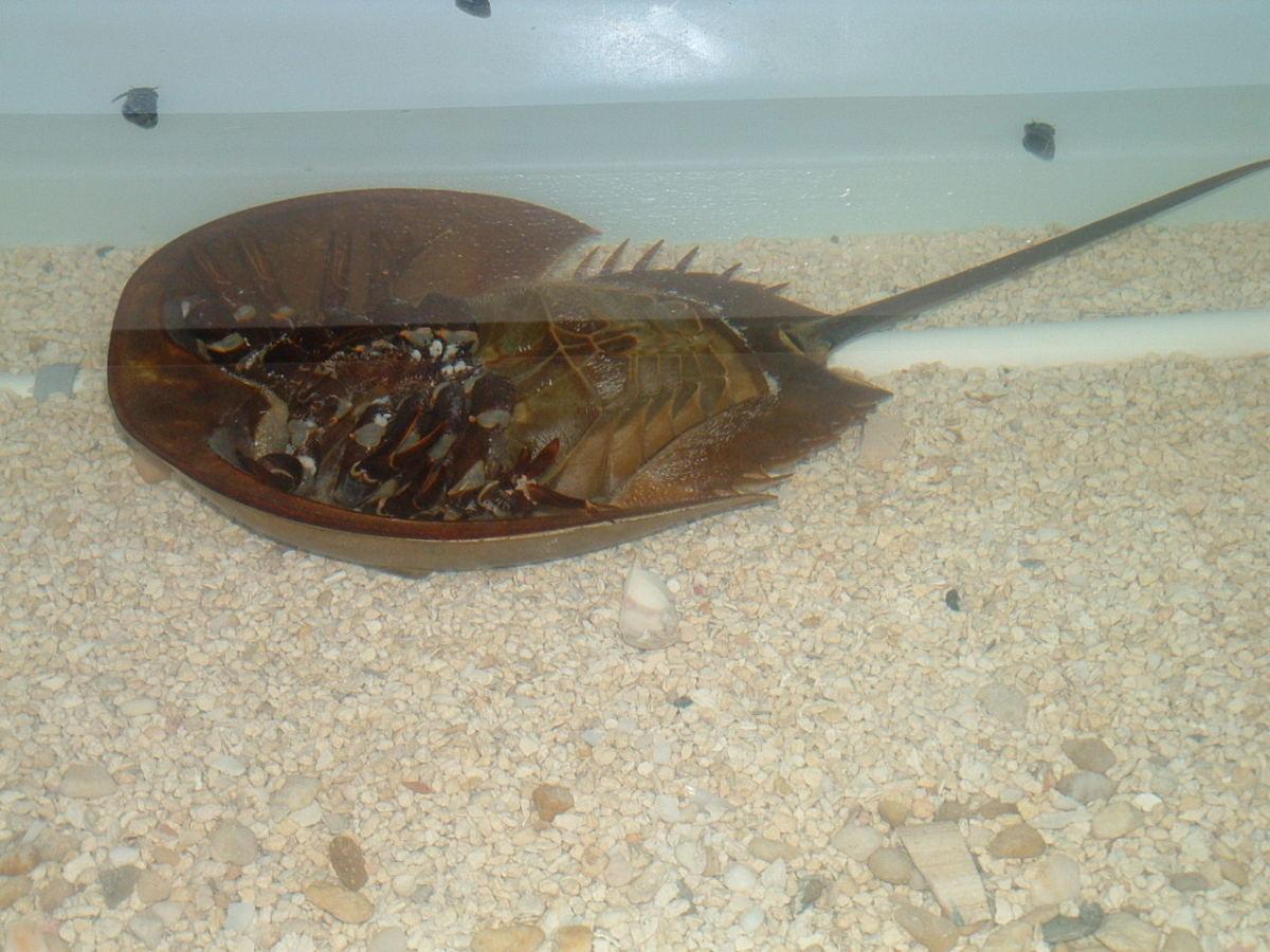 An upside down horseshoe crab.