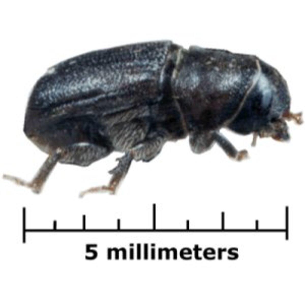 Mountain Pine Beetle (Dendroctonus ponderosae)