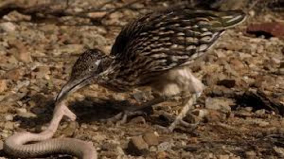 Is the roadrunner physically or symbolically like the eagle? Nope.