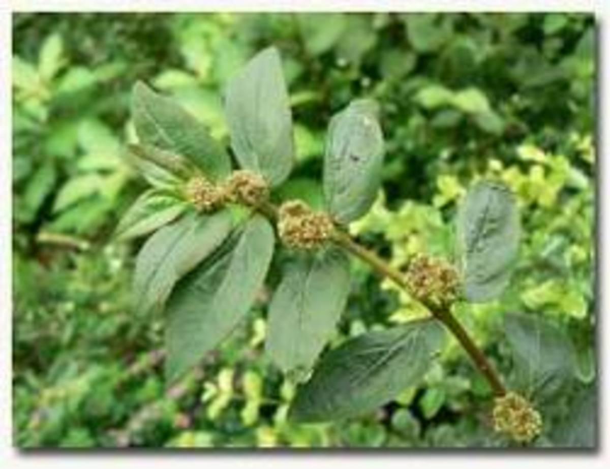 Tawa-tawa herbal plant