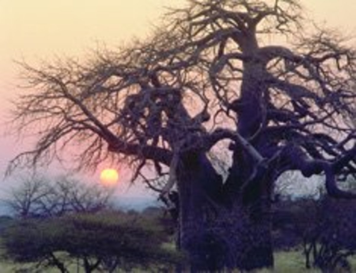 The magnificent Baobab Tree in the Limpopo Bushveld