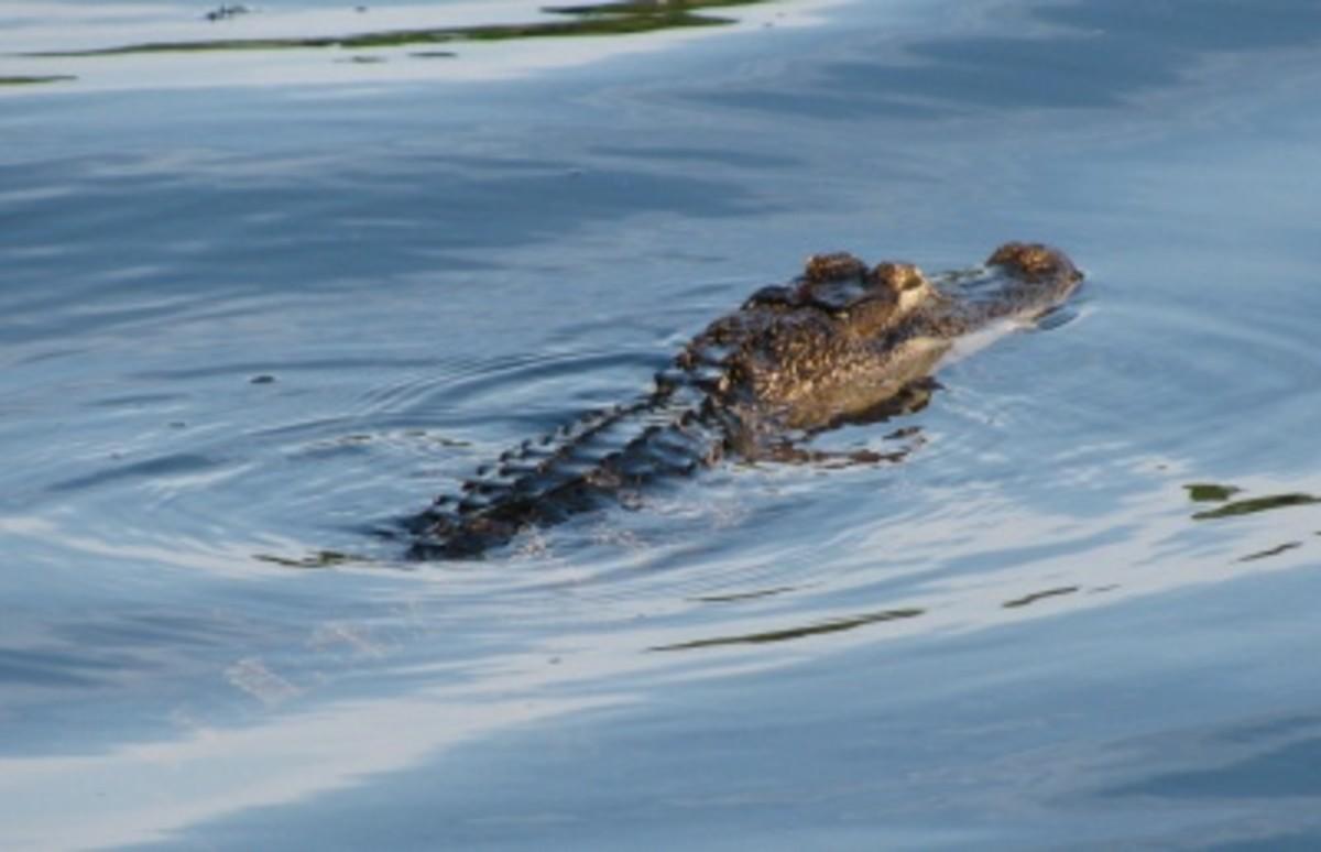 Small alligator crosses a channel