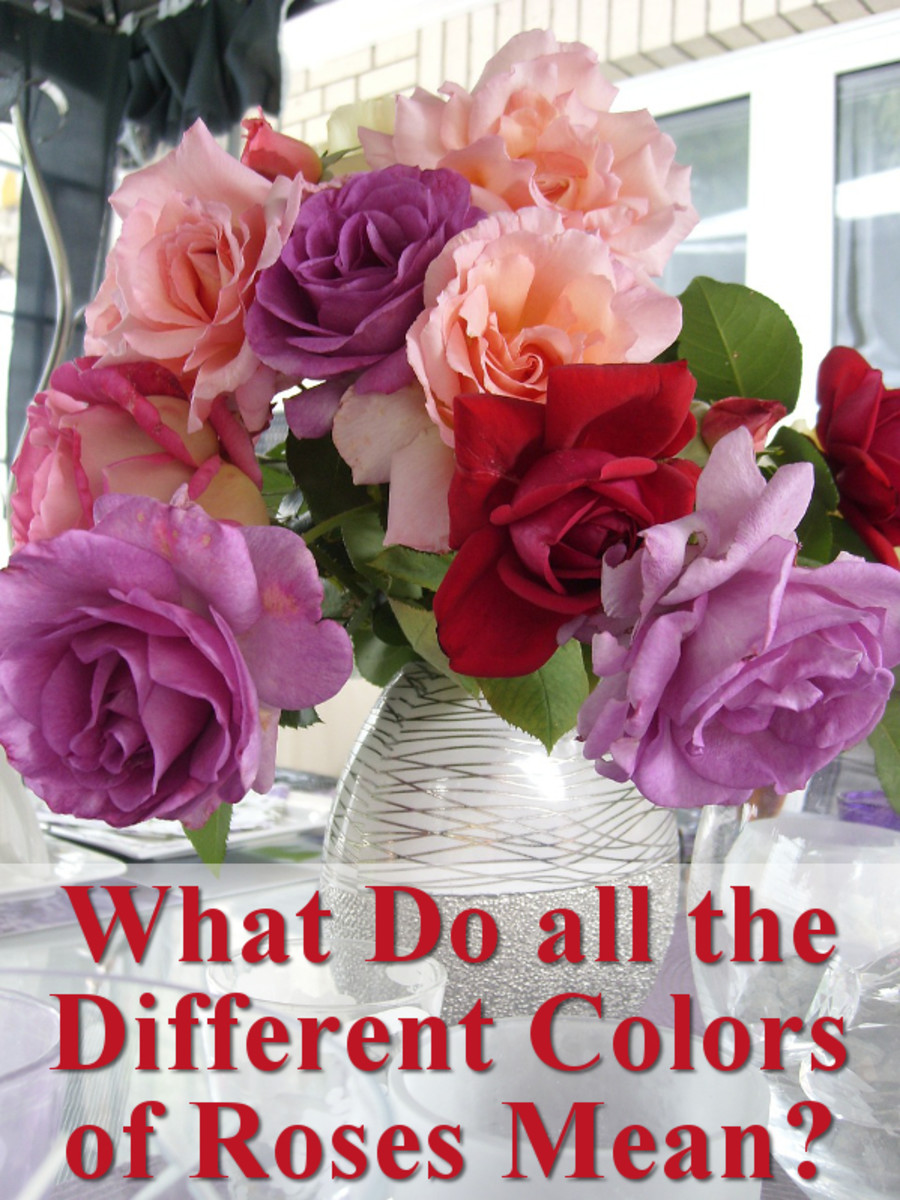 What do all the different colors of roses mean?