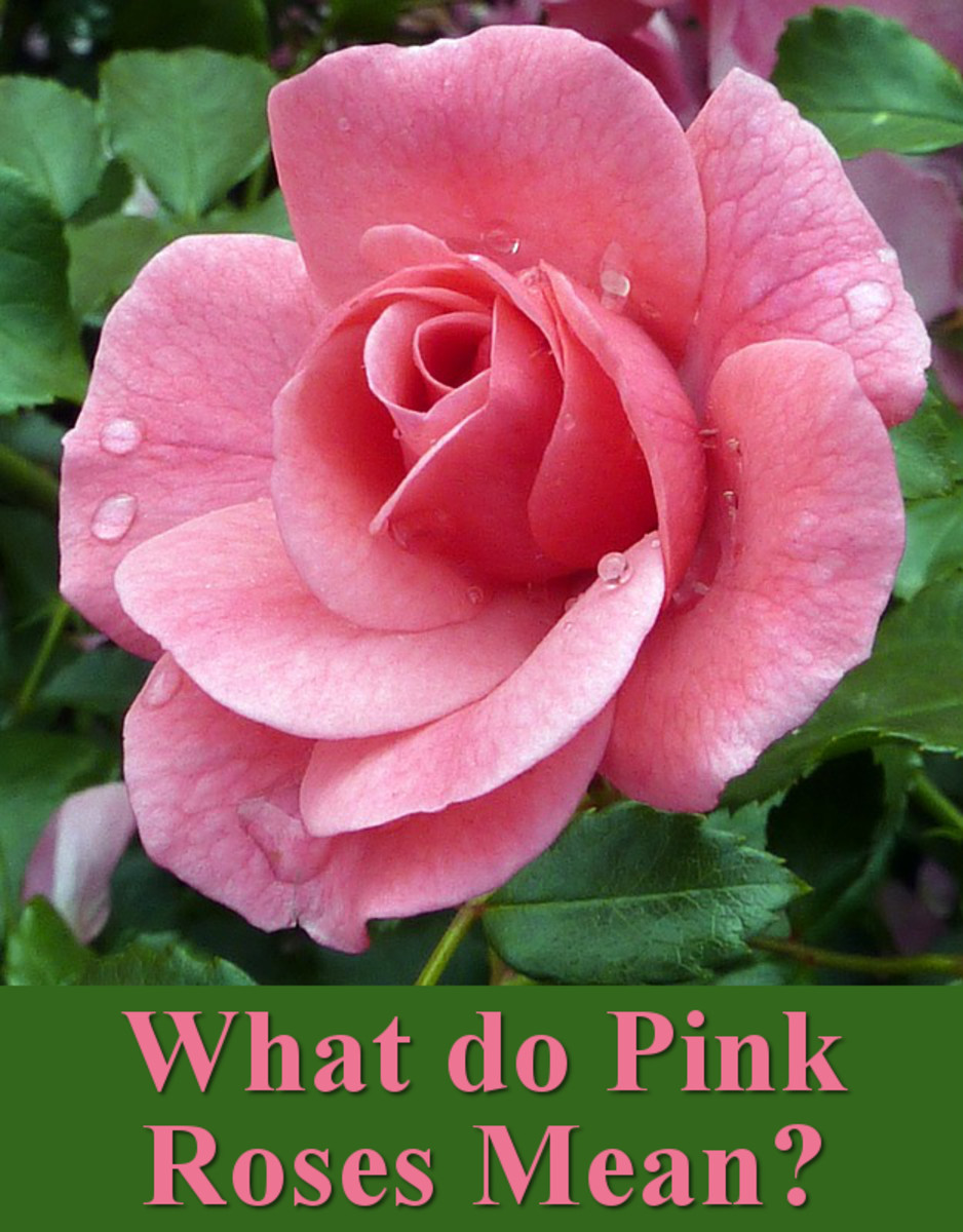 What do pink roses mean?