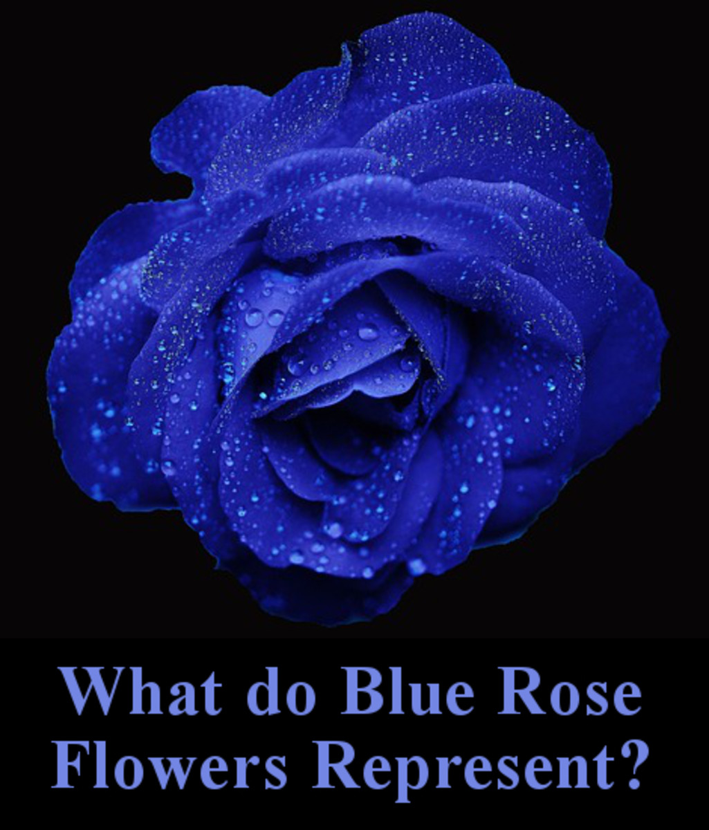 What do blue rose flowers represent?