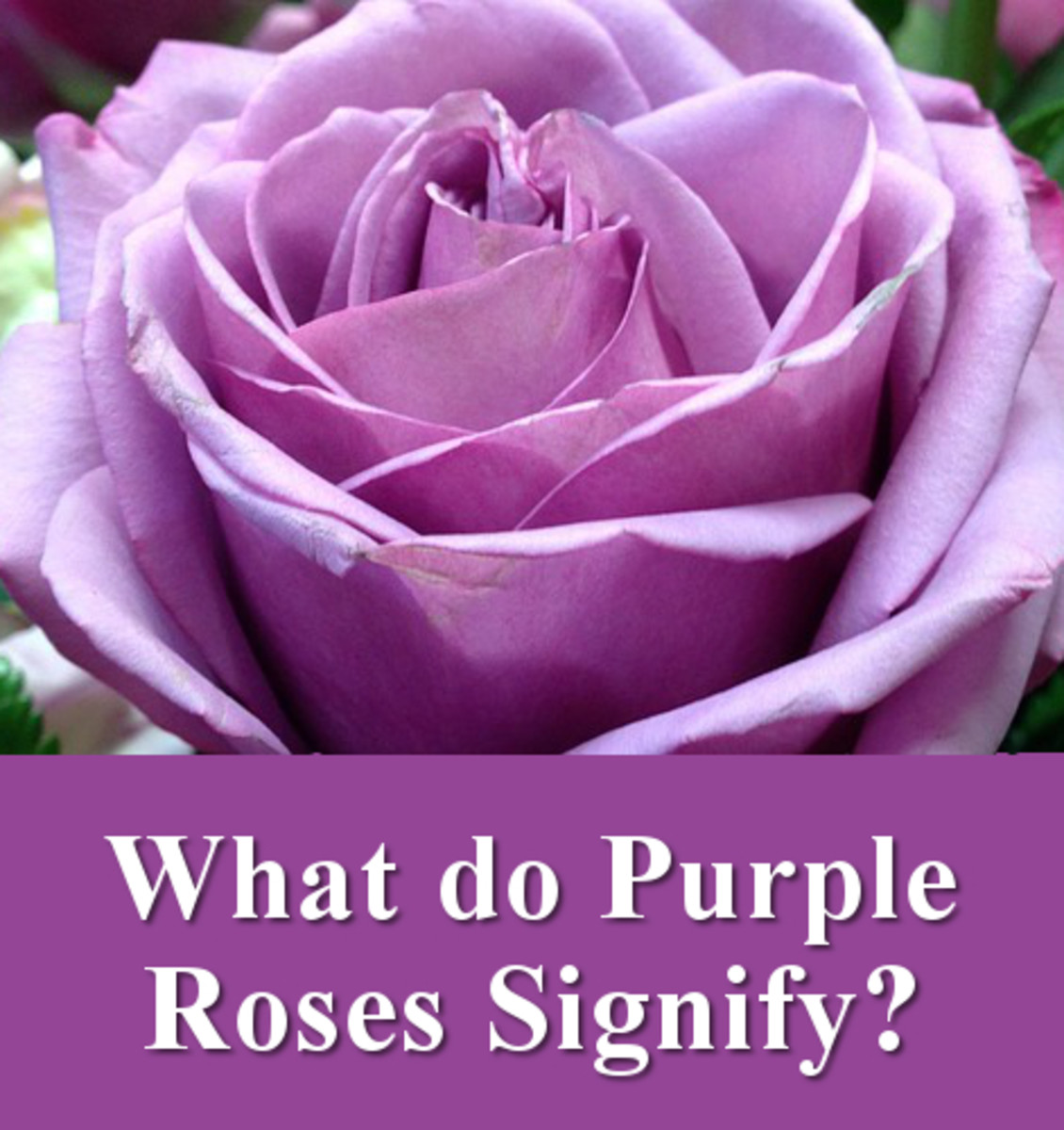 What do purple rose flowers signify?