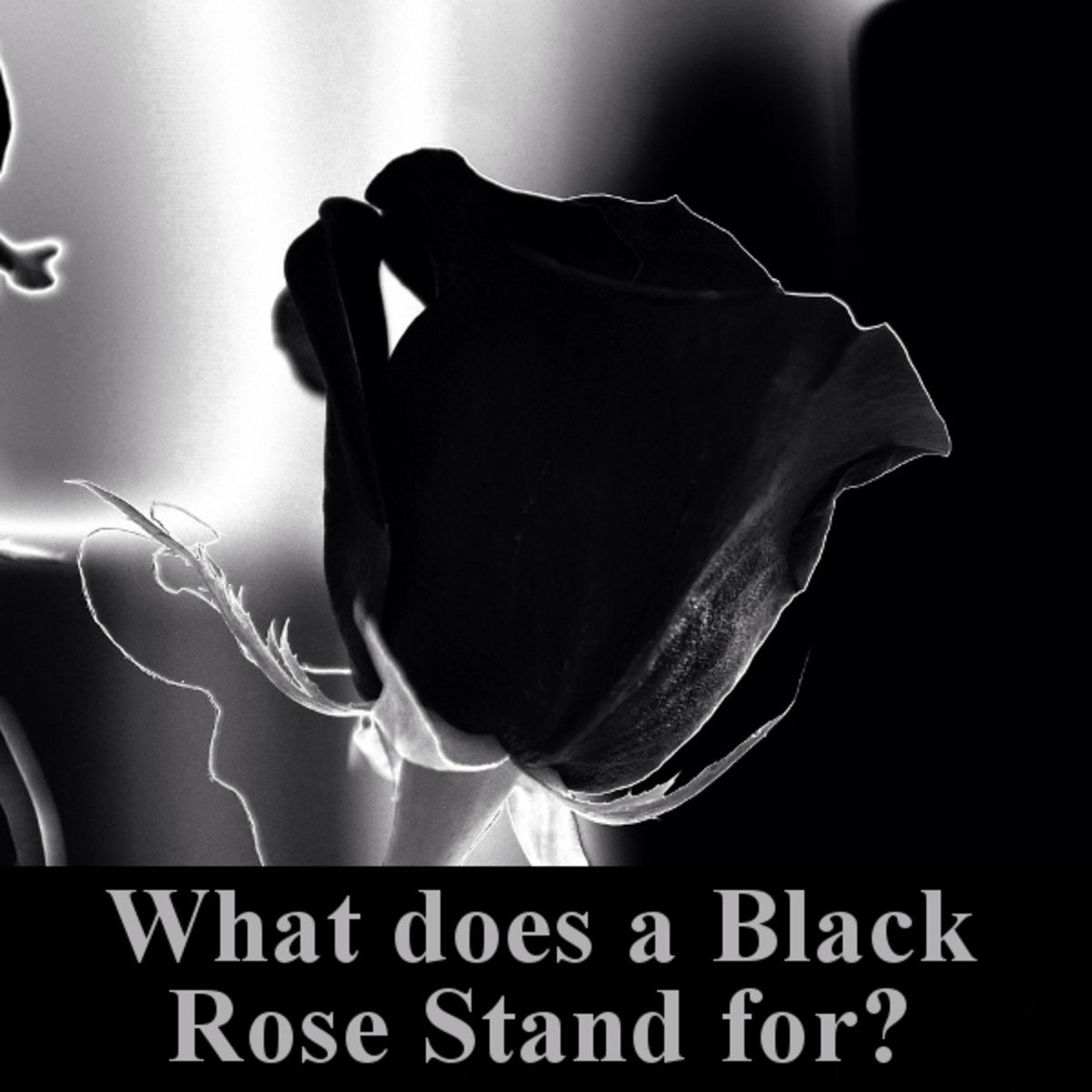 What does a black rose stand for?