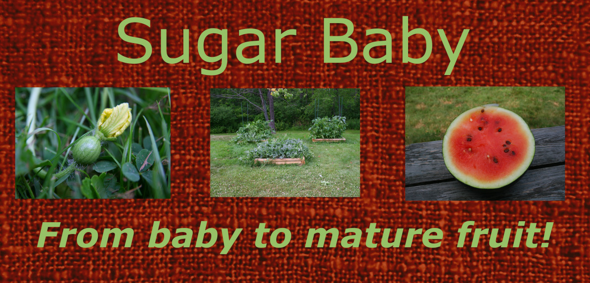 Sugar Baby Watermelon: from a baby watermelon to a delicious snack!