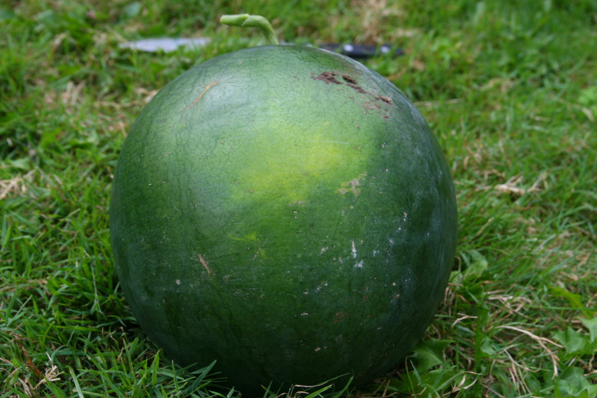 The yellow patch may be hard to see on a Sugar Baby watermelon. This ripe watermelon has a subtle yellow patch on the underbelly.