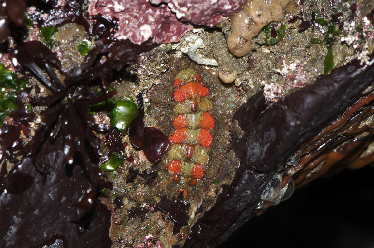 Unusual Chiton