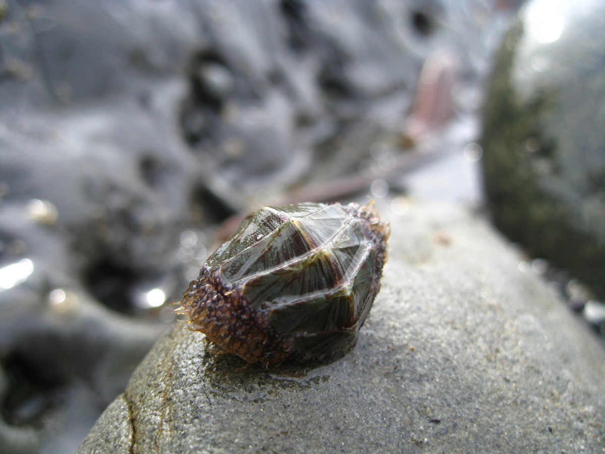 Unidentified Chiton - You can really see in this image why the chiton reminds me of a pill bug, or woodlouse.