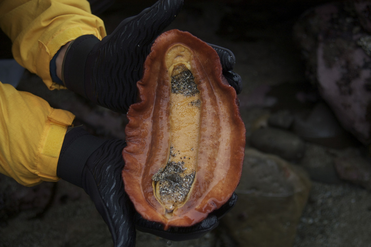 Gumboot Chiton underside (Cryptochiton stellari) - You can see why this is compared to the size of a boot. It is the largest chiton.   Looking at a chiton's ventral side is not easy, a chiton may cling to a rock almost as hard as a limpet.