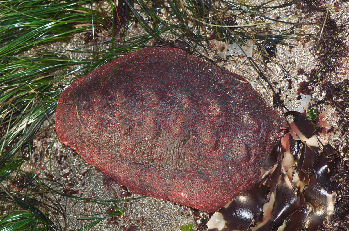Gumboot Chiton topside - The shell of the Gumboot is hidden under its fleshy mantle.
