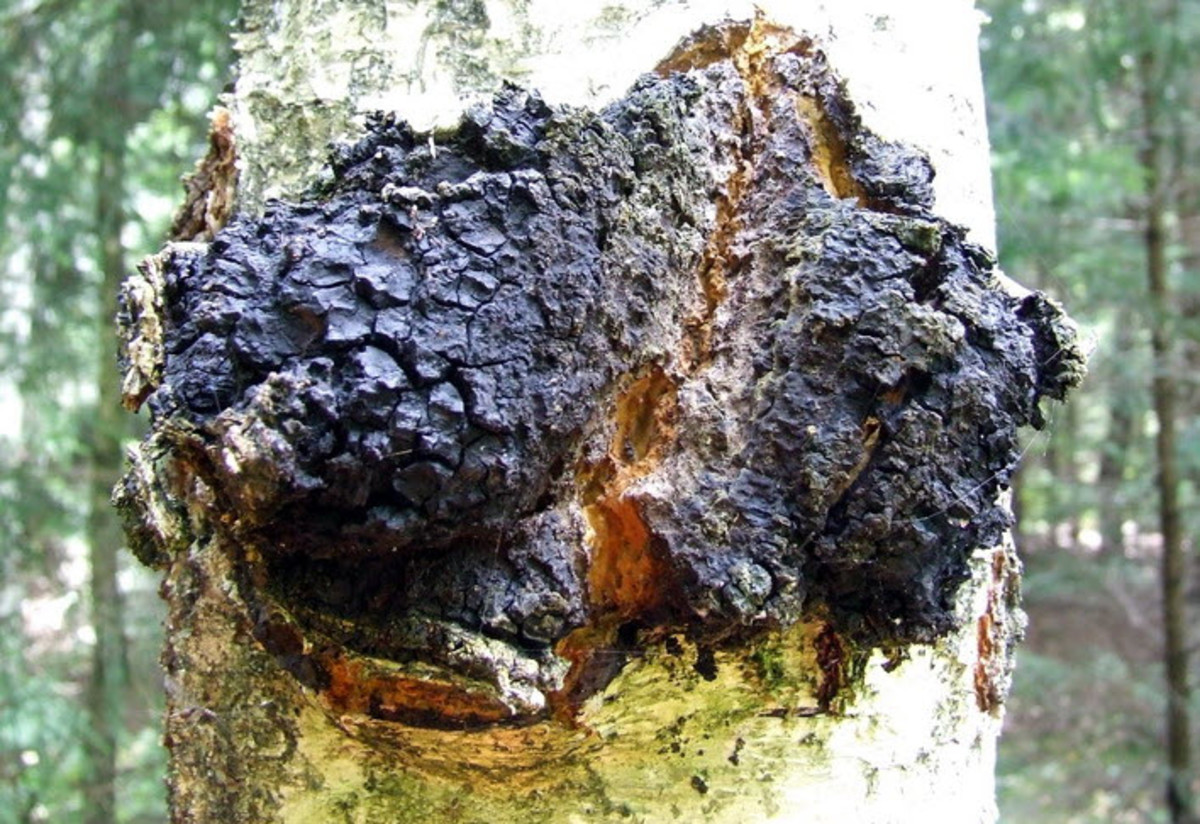 A picture of a chaga mushroom growing in the wild. The image is available under the creative commons license: http://creativecommons.org/licenses/by-sa/3.0/deed.en