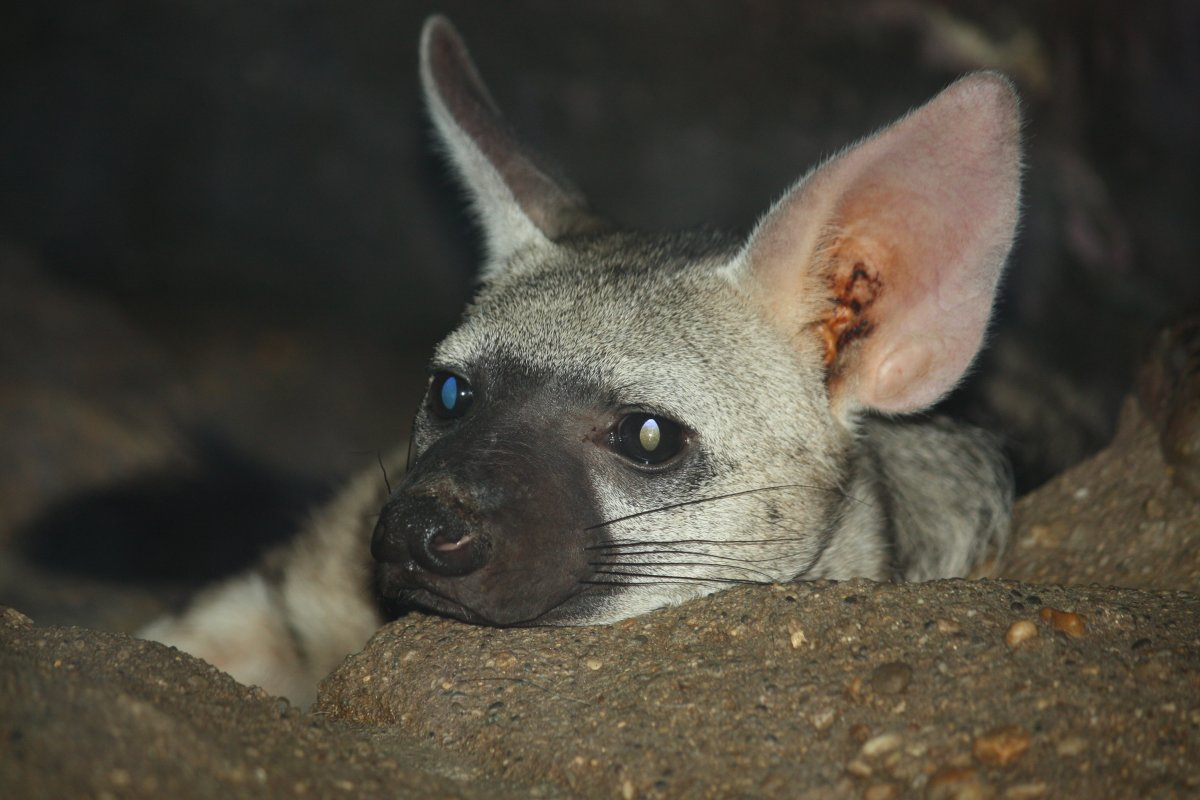 A close-up photo of an aardwolf in a zoo