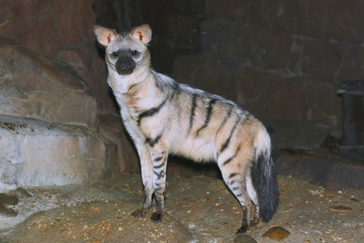 An aardwolf at the Cincinnati Zoo