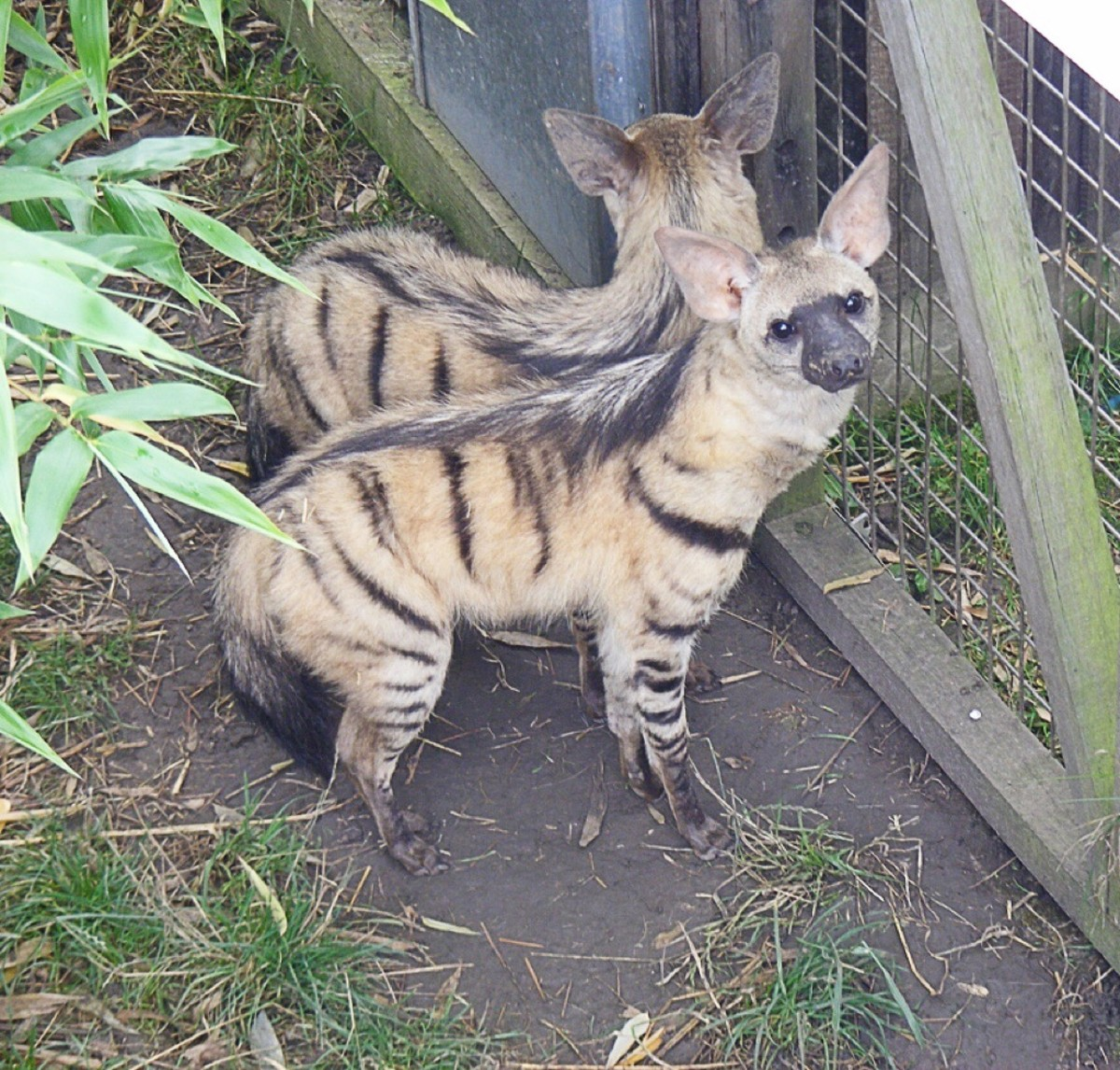 Two aardwolves photographed at the Rare Species Conservation Centre in Kent, England