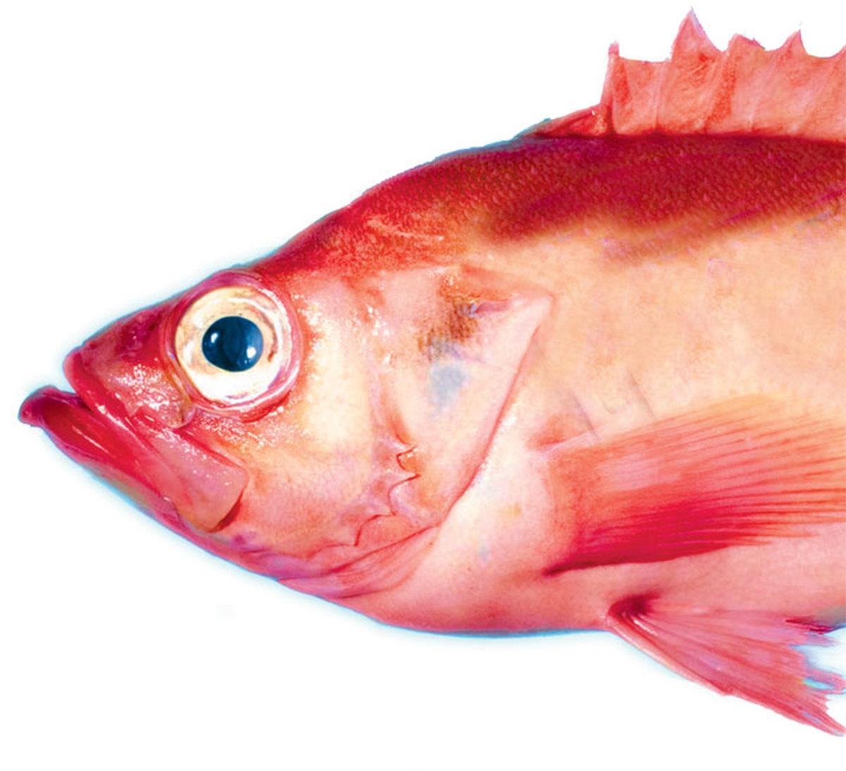 Red Herring literary plot device, not the fish